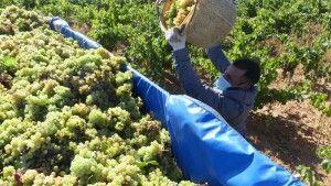 La DOP Cariñena cosecha 92 millones de kilos de uva