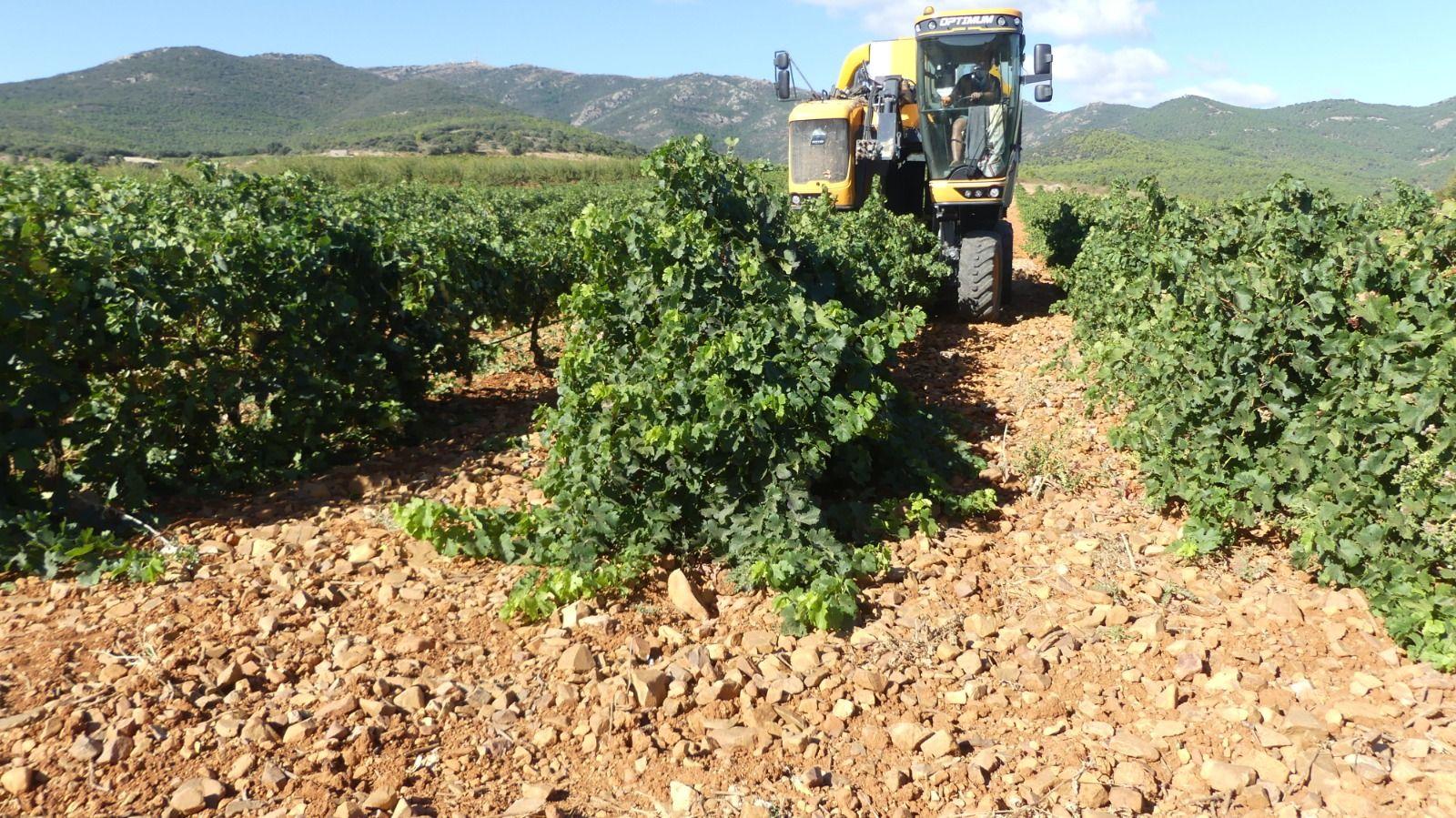 """La DOP Cariñena cierra una vendimia """"excelente"""" con casi 92 millones de kilos de uva, un 60,5 % más que el año pasado"""